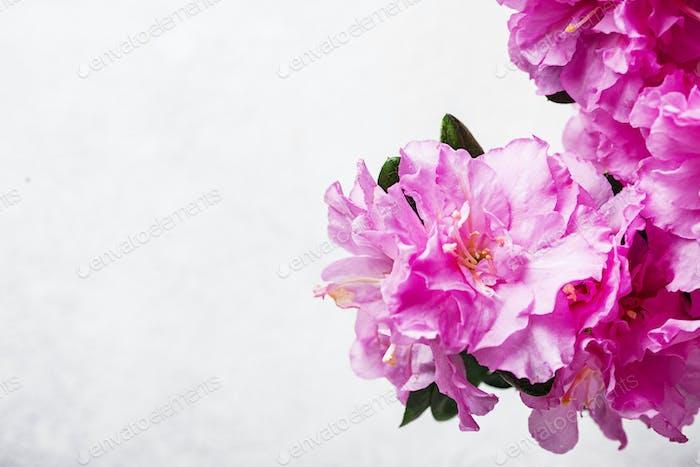 Azalee Blume auf hellem Hintergrund