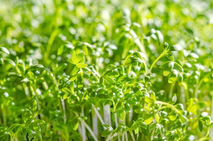 Garden cress sprouts growing in sunlight, macro photo