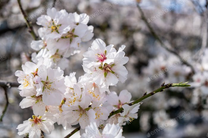 Spring blooming. Almond tree blossoming background