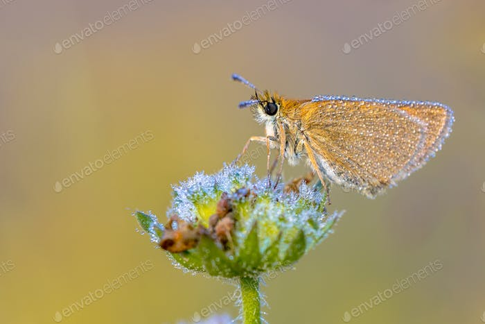 Essex skipper covered in dew
