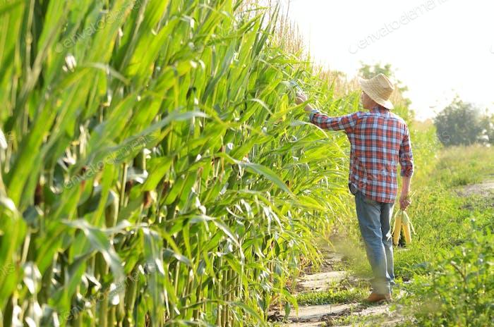 Middle age caucasian farm worker walking along maize corn field