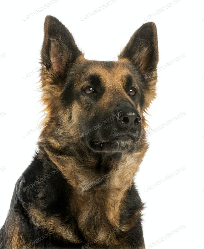 Close-up of a German shepherd looking away, 4 years old, isolated on white