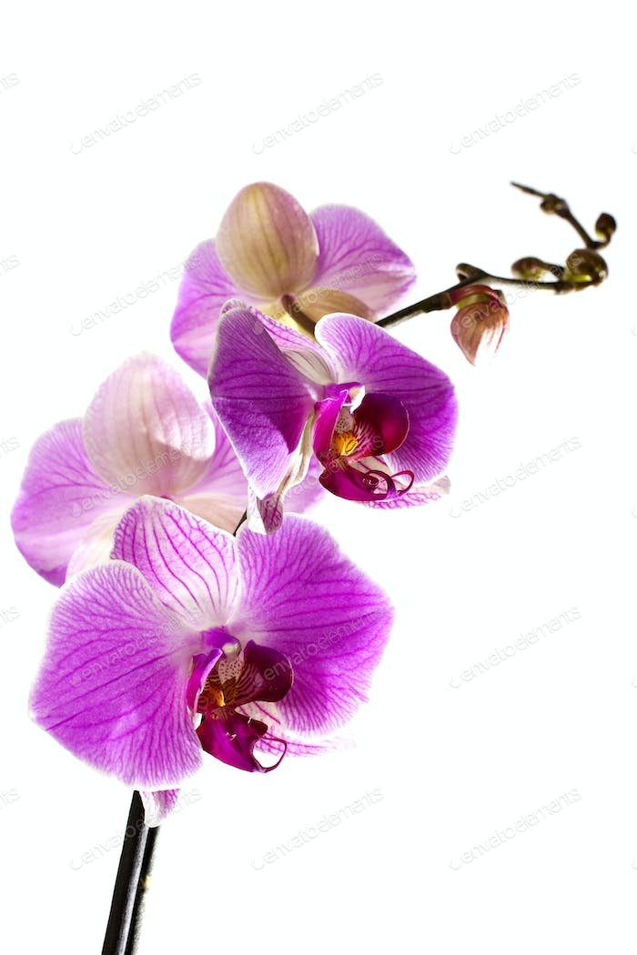 Pink orchid.