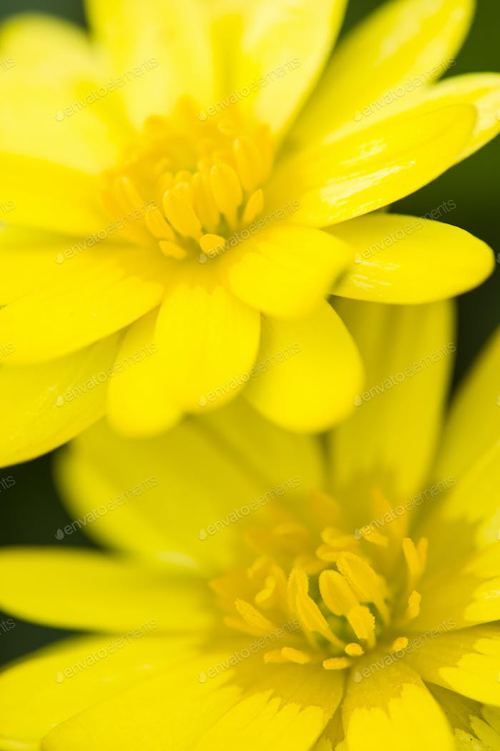 Two daisy yellow flowers