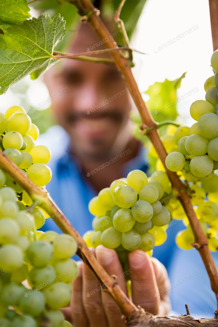 Close-up of man touching grapes