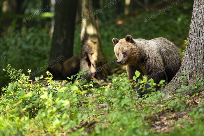Majestic brown bear searching for food in sunny summer forest