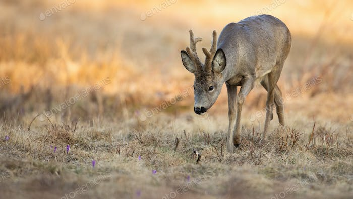 Roe deer buck sniffing in dry grass in spring sunny nature