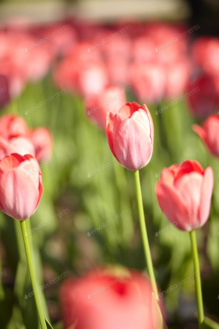 beautiful tulip flowers garden