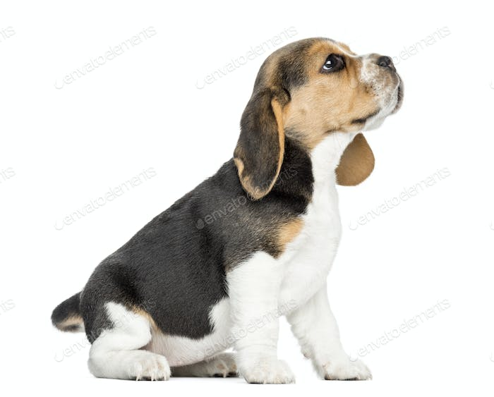 Side view of a Beagle puppy sitting, looking up, isolated on white