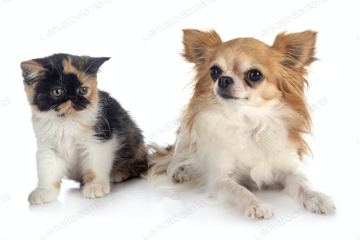 exotic shorthair and chihuahua