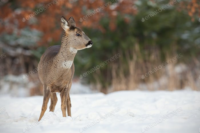 Roe deer, capreolus capreolus, in deep snow in winter