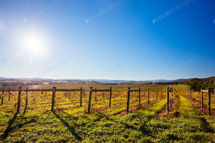 Yarra Valley Vineyard in Australia