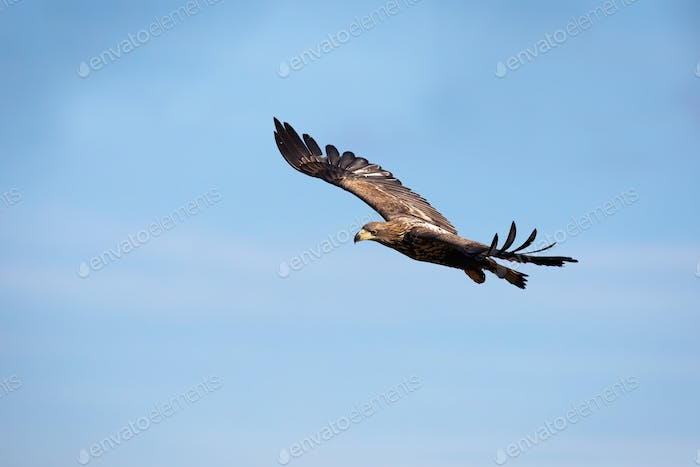 Juvenile white-tailed eagle flying against blue sky at sunrise