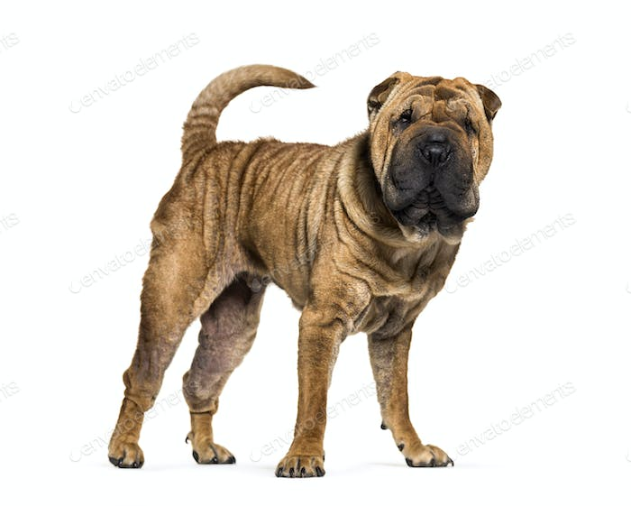 Standing brown Shar-pei dog, cut-out