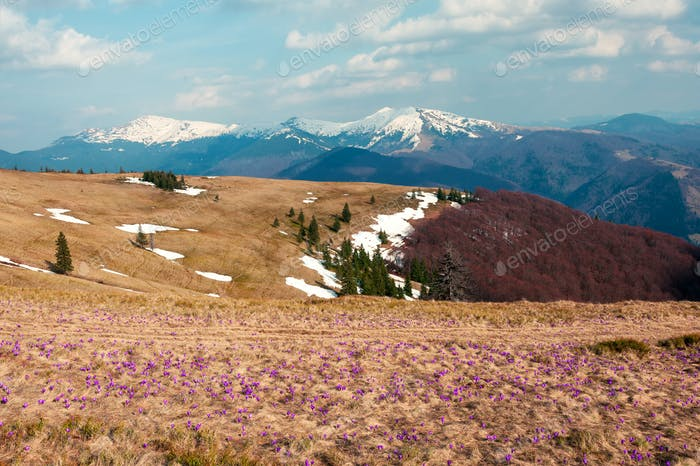 Field of crocus flowers in grass