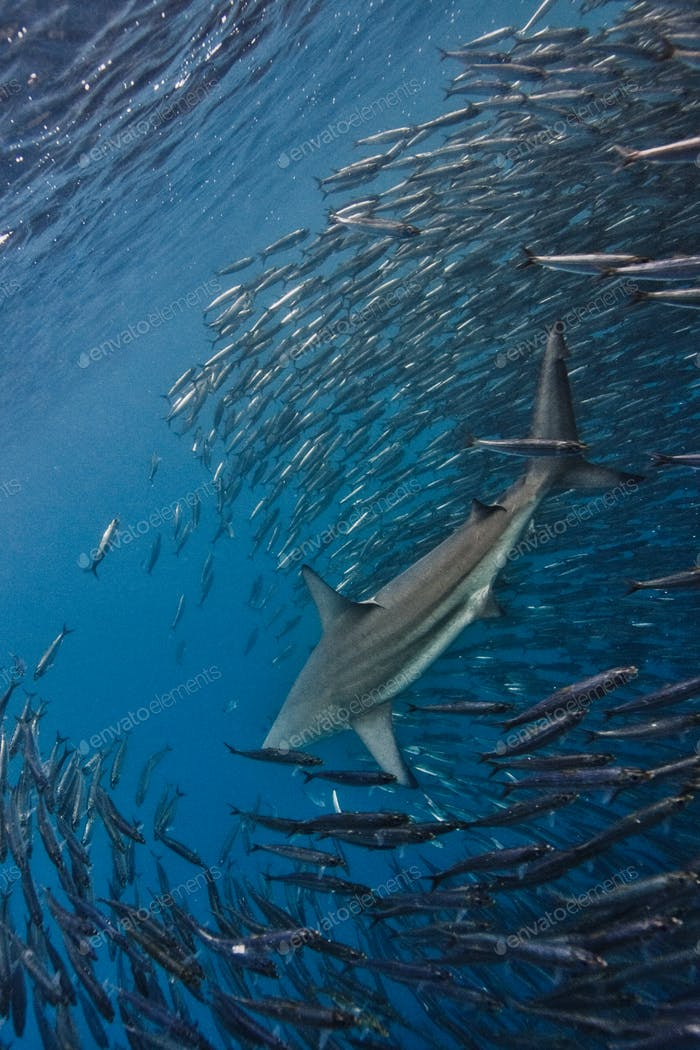 shark feasting on sardines