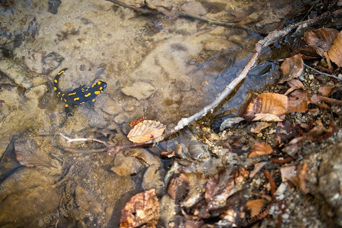 Small fire salamander floating in clear shallow water near riverbank