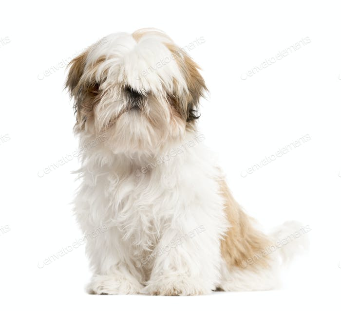 shih tzu Dog sitting in front of white background