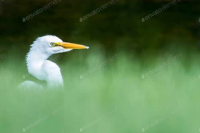 Great Egret - Ardea alba, side profile, looking out from blurred grass bokeh.