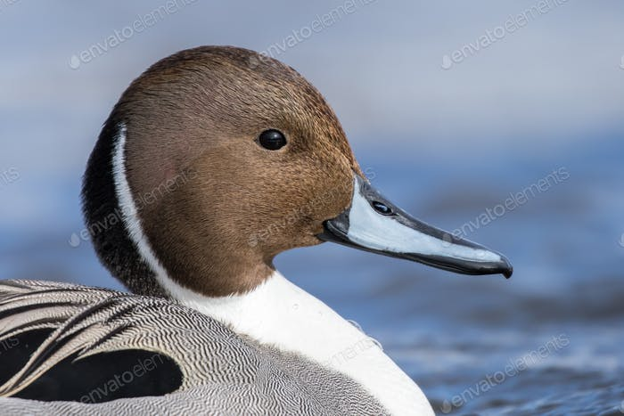Northern Pintail Drake, Anas Acuta
