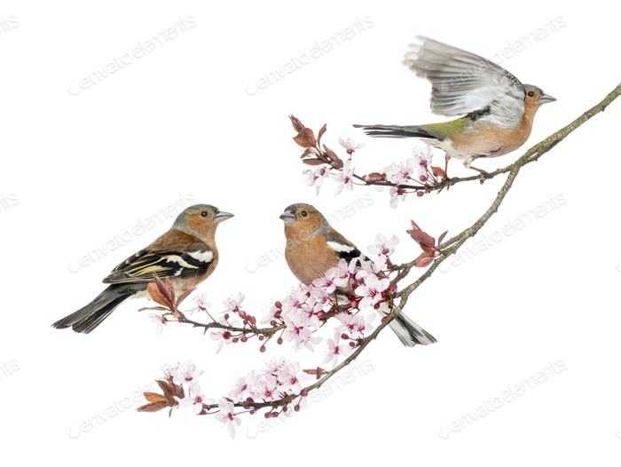 Group of Common Chaffinch perched on a Japanse cherry branch, isolated on white - Fringilla coelebs