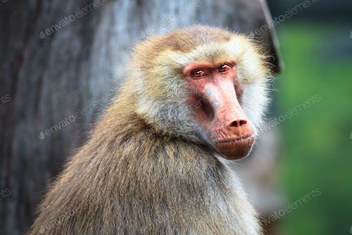 Adult Female Hamadryas Baboon