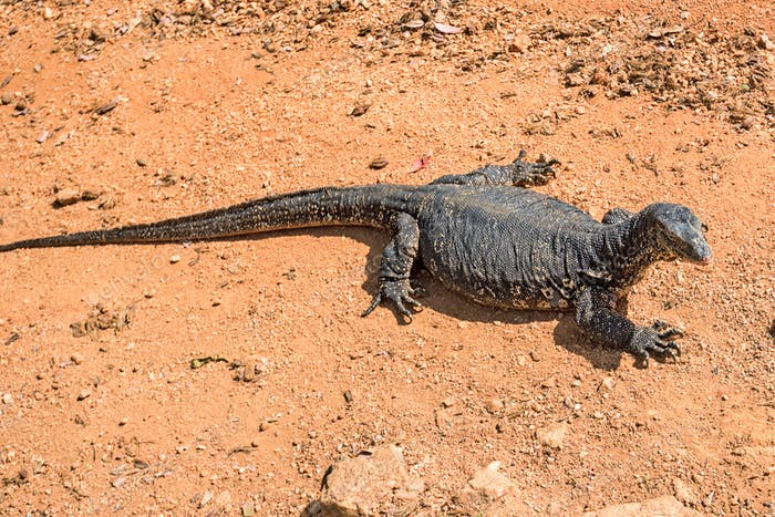 Water monitor or Varanus salvator on the ground
