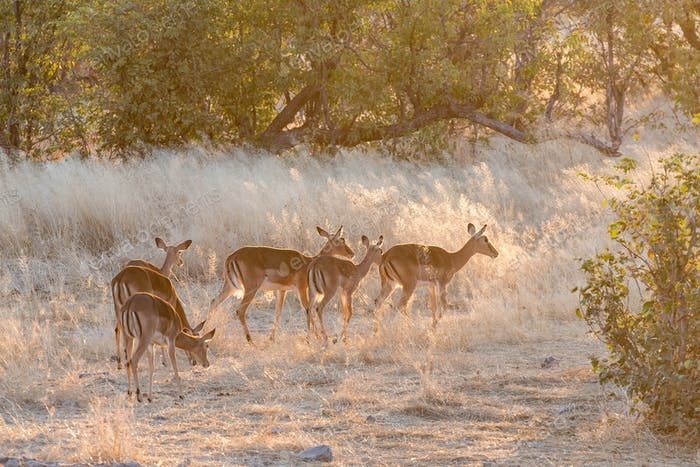 Herd of black-faced impala at sunset