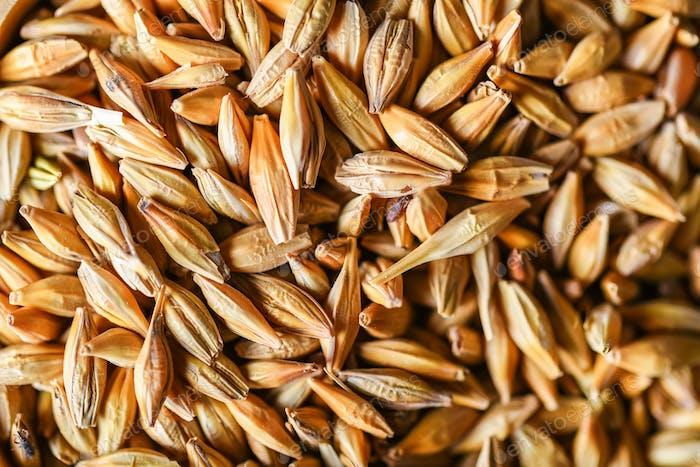Natural barley grains for background
