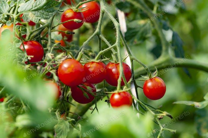 Schöne leckere Tomaten