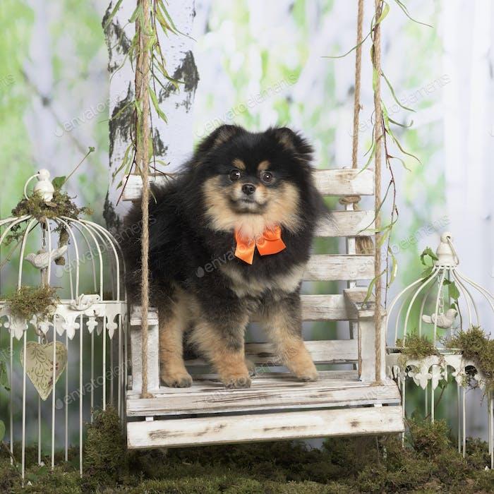 Pomeranian with orange tie bow, in pastoral decoration