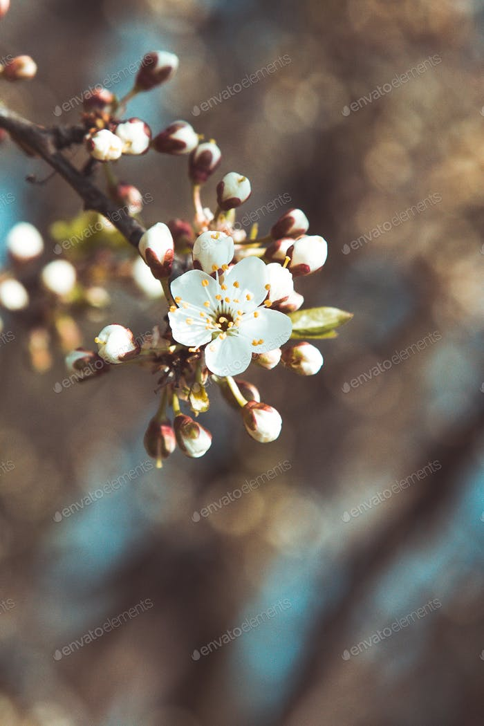 Spring blossom- branch of a blossoming tree on bokeh background