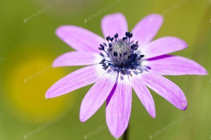 Pink sunflower daisy flower