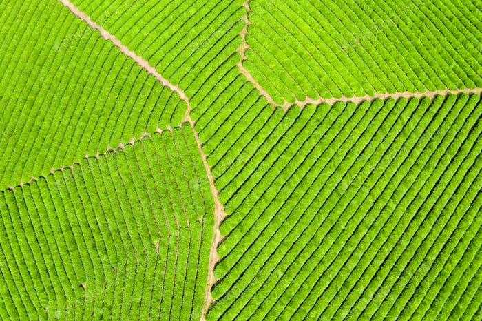 aerial view of spring tea plantation