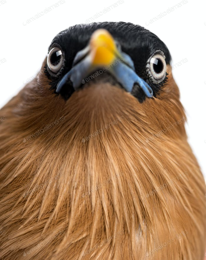 Close-up of a Brahminy Myna - Sturnia pagodarum - isolated on white