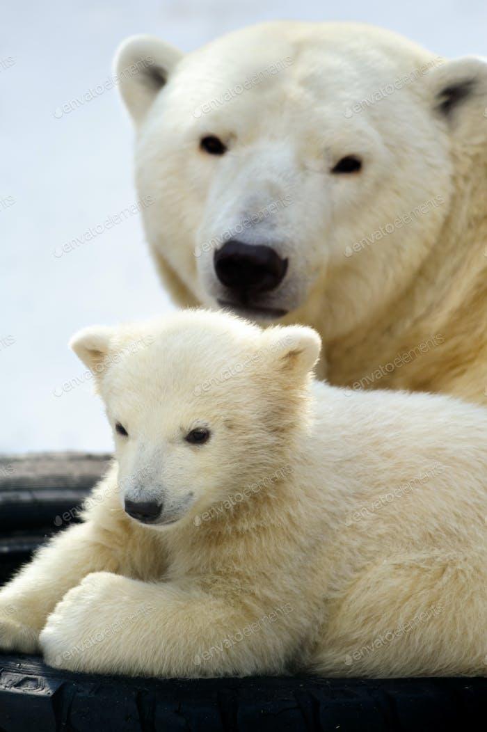 Polar bear cub with his mom