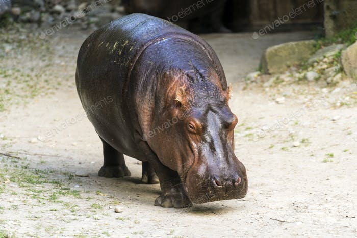 Full portrait of a common hippo walking on land