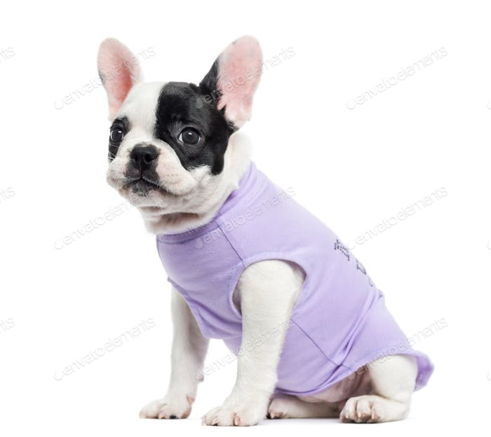 Dressed French Bulldog sitting, isolated on white
