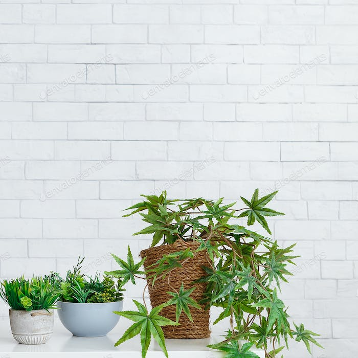Green houseplants in pots on table against wall