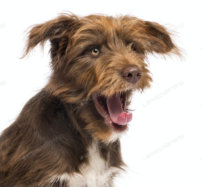 Close-up of a Crossbreed, 5 months old, yawning against white background