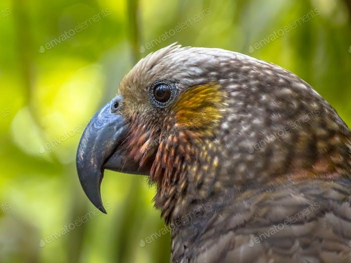 New Zealand endemic Kaka parrot