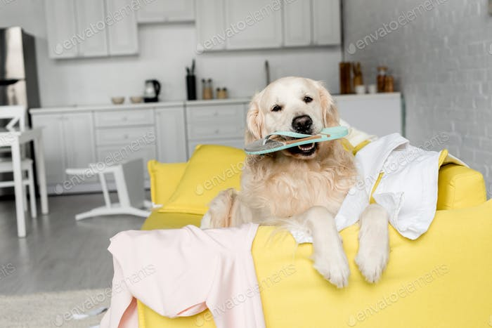 cute golden retriever lying on yellow sofa and holding slipper in messy apartment