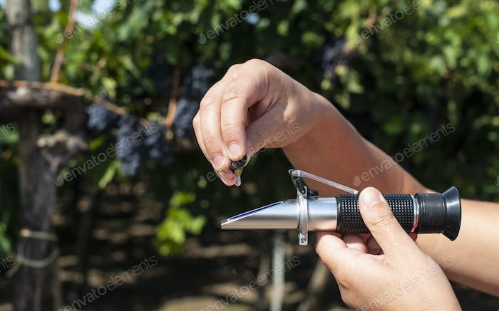 Farmer measures the sugar content of the grapes with refractomet