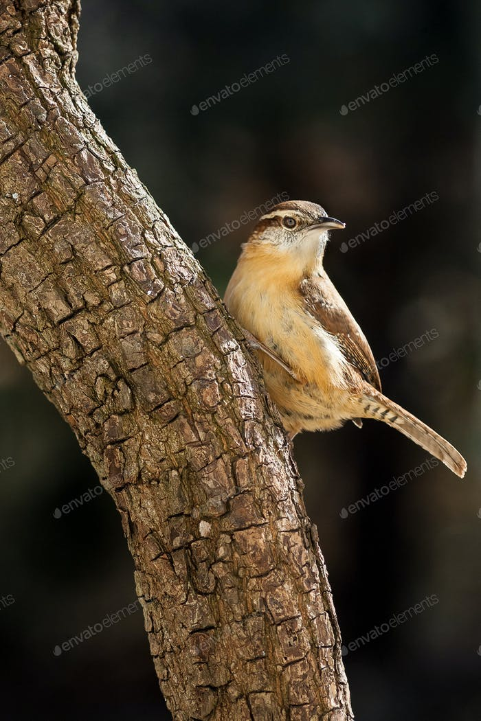 Carolina Wren on Tree
