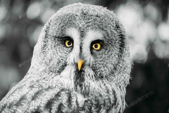 Great Grey Owl Or Great Gray Owl - Strix Nebulosa. Wild Bird. Cl