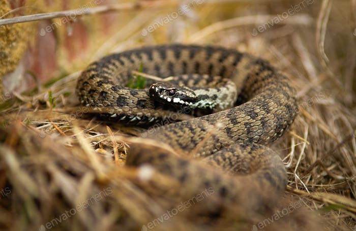 Toxic common viper lying on the ground in autumn