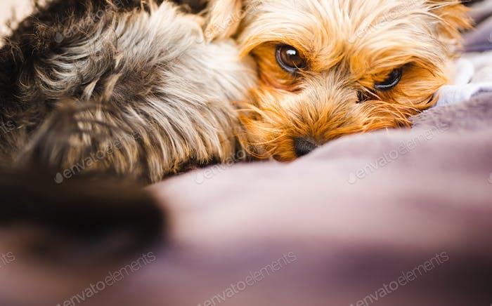 Yorkshire-Terrier ruht auf einer Couch draußen im Hinterhof