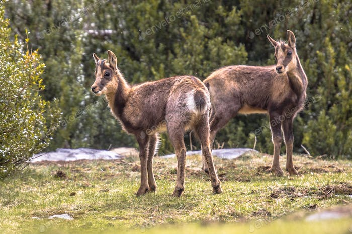 Two Chamois looking at camera