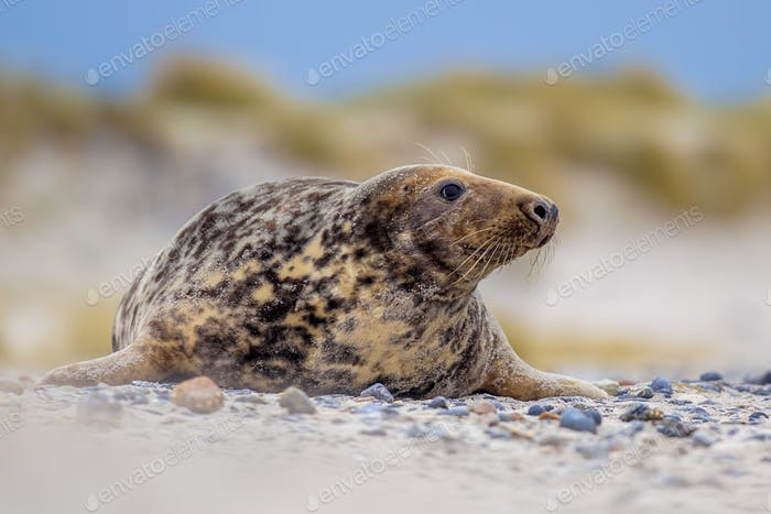 Female Grey seal on Helgoland