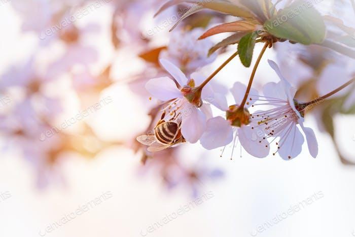 Bee pollinates spring cherry
